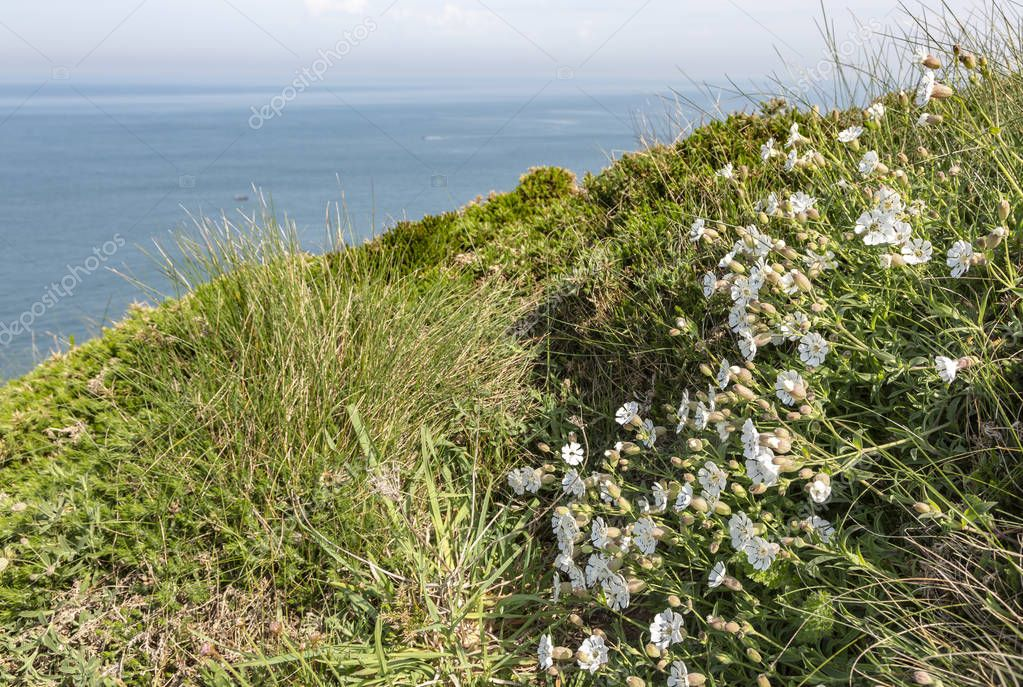 Specific white wild flowers (Saxifraga hypnoides) on the coastline in Brittany in North of France.
