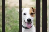 Fotografie Jack russell dog behind metal fence