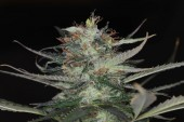Fotografie marijuana flower blooming medical cannabis plant