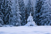 Smrkový les na sněhu. Zimní krajina s závěje a malé jedle