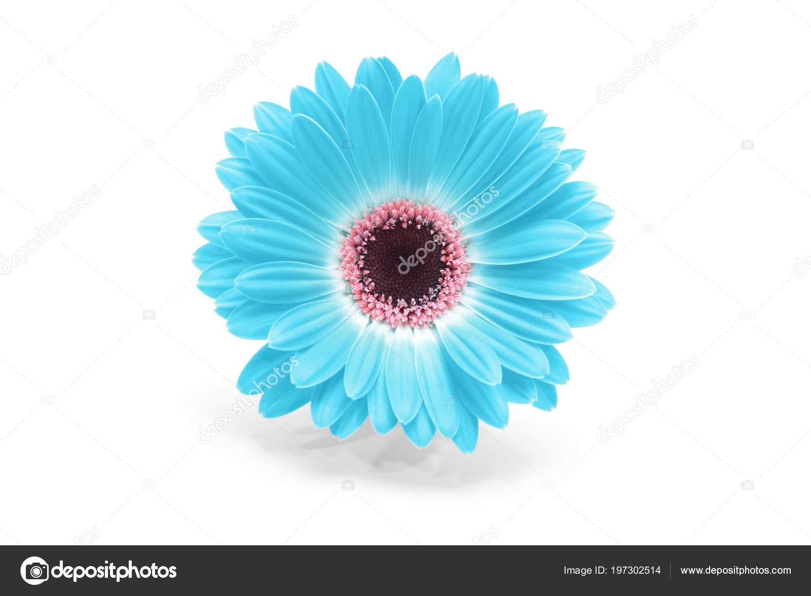 Fleur Gerbera Bleu Isole Photographie Tihon6 C 197302514