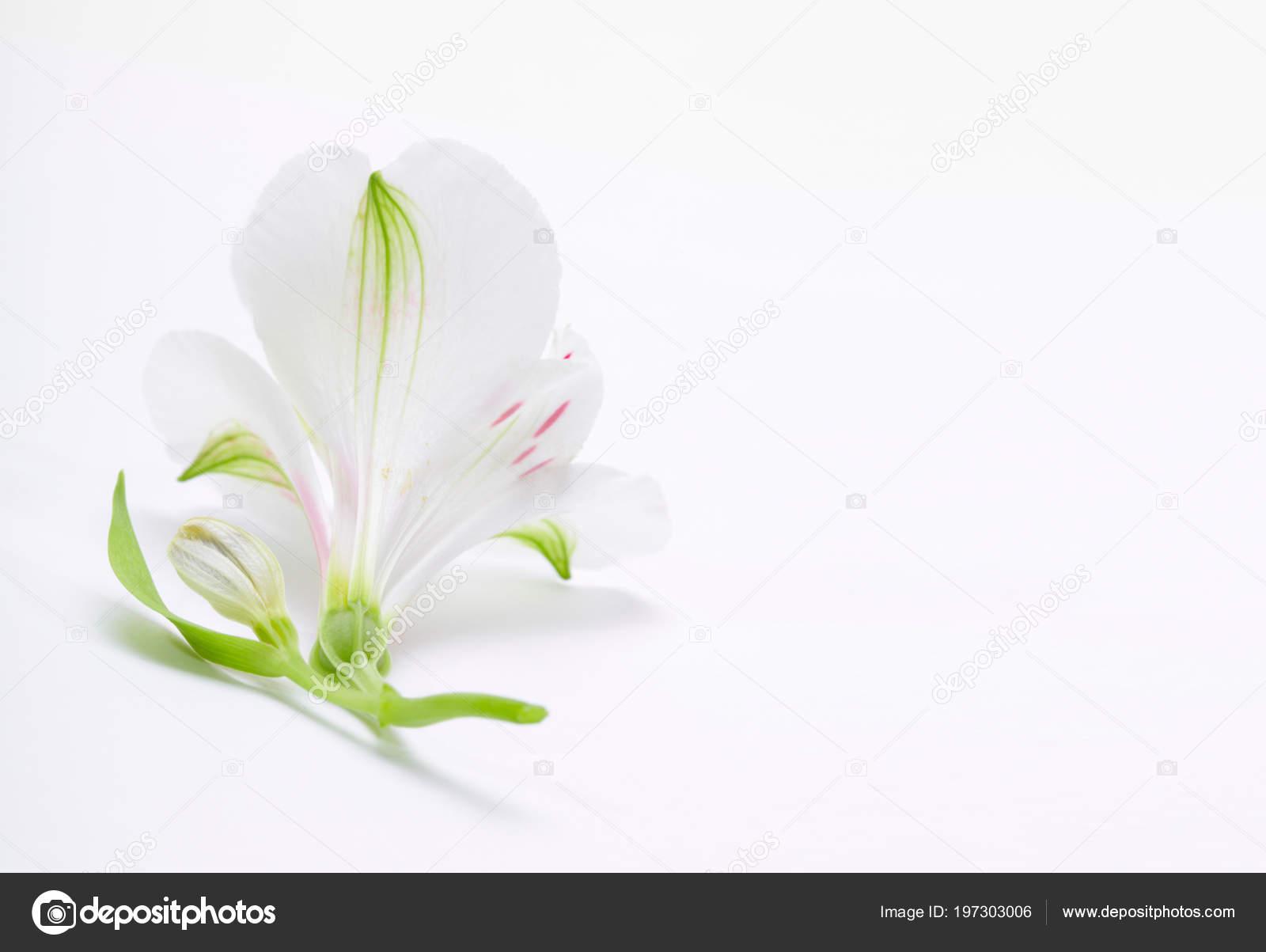 Fleur Lys Blanche Sur Fond Clair Photographie Tihon6 C 197303006