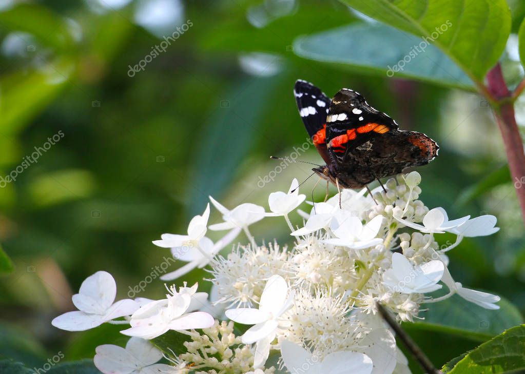 admiral (Vanessa atalanta) butterfly with folded wings on white flowers, on green background, copy space
