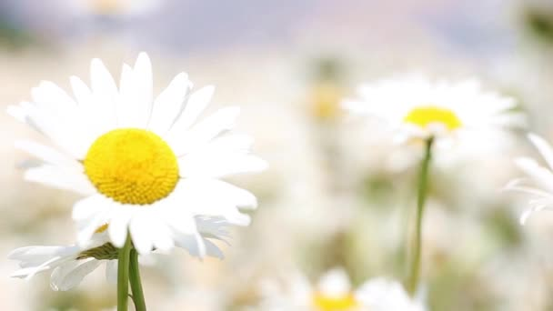 field of camomile, focus movement from the foreground to the background