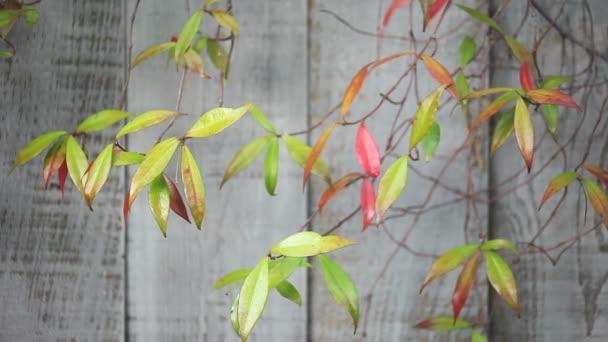 Leaves of star jasmine vine against an old fence