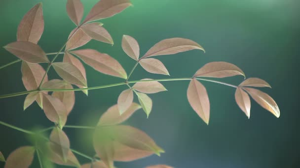Fresh spring leaves of a nandina or heavenly bamboo
