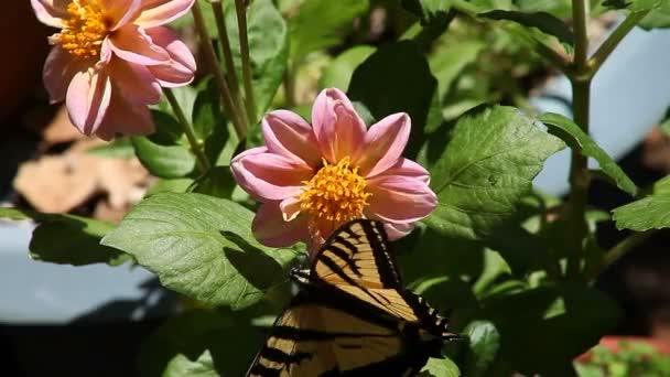 A fecskefarkúlepke pillangó a Dália