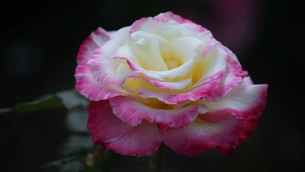 A kétszínű Rózsa egy háztáji kertben
