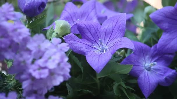 Close up of blue balloon flowers and verbena