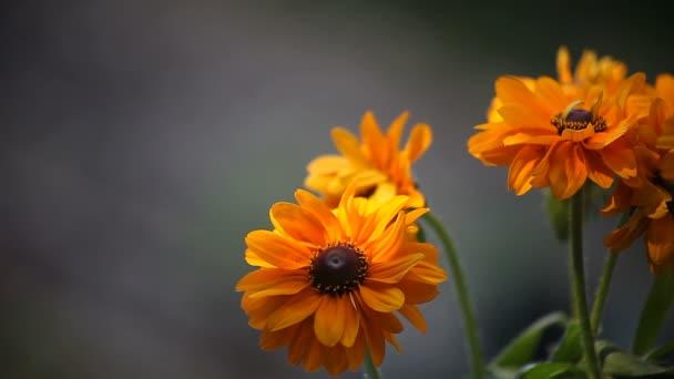Afternoon sun  and shadows play on yellow-orange rudbeckia flowersrudbeckia,