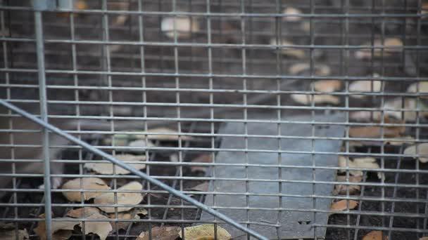 eine Ratte, gefangen in einer humanen Tierfalle