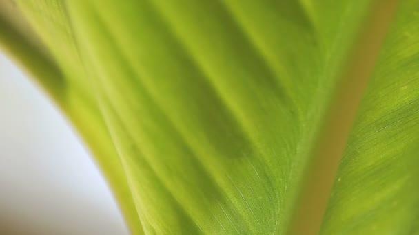 Closeup pohled na spodní stranu Kanna listu