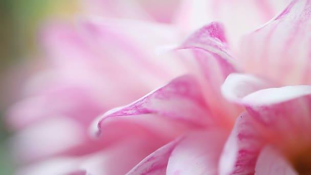 Macro view of white dahlia flower petals streaked with magenta