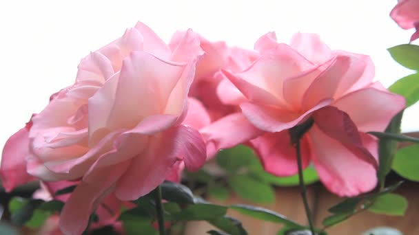 Large First Prize roses seen from a lower angle