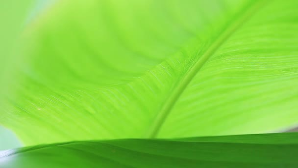 Large green leaves, suitable for a nature or environmental background