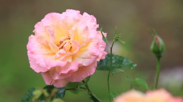 Hybrid tea rose after a rain