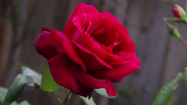 Kvetení hlubokých červených květin na jaře