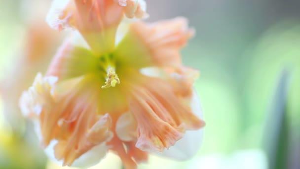 Díszes tavaszi virág pasztell árnyalatú Rózsaszirmok