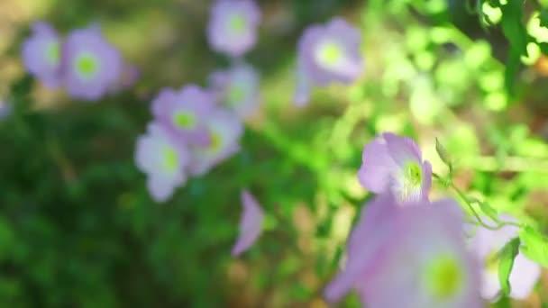 Pale pink flowers blooming in spring