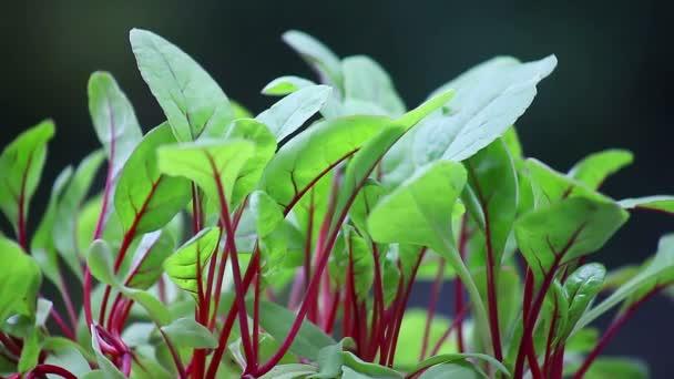 Friss zöld és vörös levelei új mángold növények