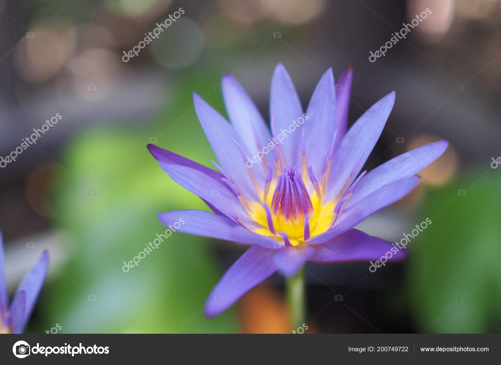 Macro Image Lotus Flower Lotus Nelumbo Purple Violet Pink Color