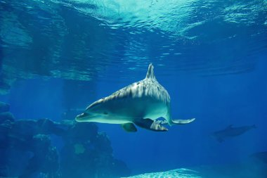 Underwater portrait of happy smiling bottlenose dolphins swimming and playing in blue water