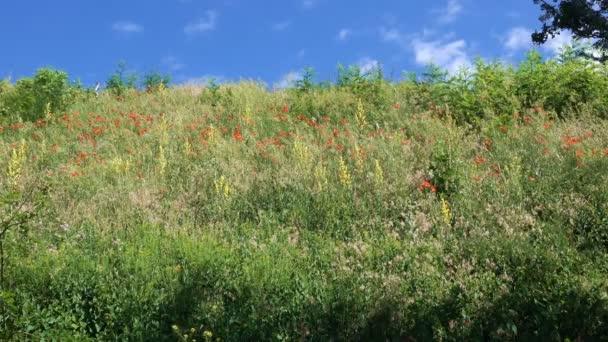 Luční trávy a červené vlčí máky rostou a kvetou na kopci v letní slunečný den