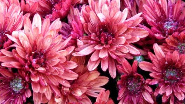 schönen Blumenteppich Nahaufnahme Computerschoner Übergang von blühenden Chrysanthemen mit dem Effekt des Zooms und Bewegen der Kamera