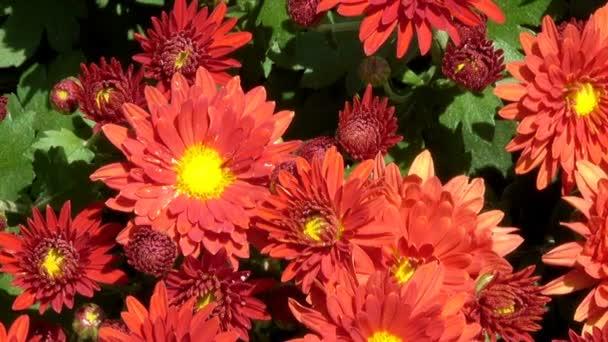 Krásný květinový koberec closeup počítače spořič přechod od kvetoucí chryzantémy s efektem zvětšování a posouváním kamery