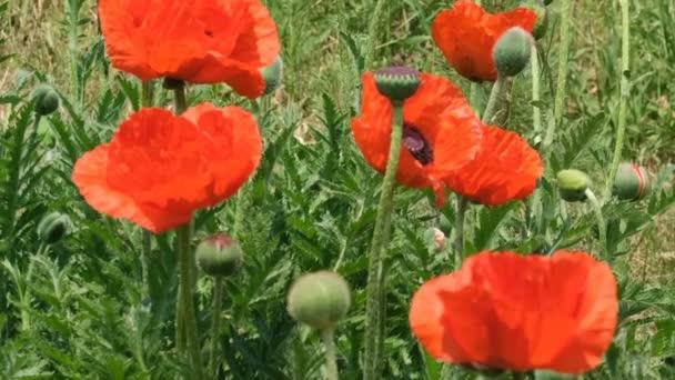 Zelené přírodní pozadí s červenými máky slunného letního dne video klip uzavření makra s efekty přiblížení, přemístění fotoaparátu a pomalý pohyb