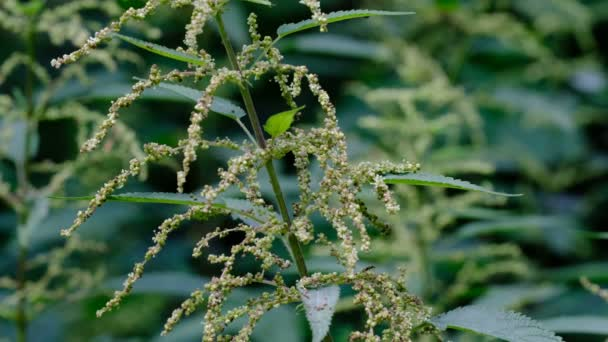 Medicinal plant folk medicine grass nettle summer flowering and seed ripening close-up macro video 4k clip