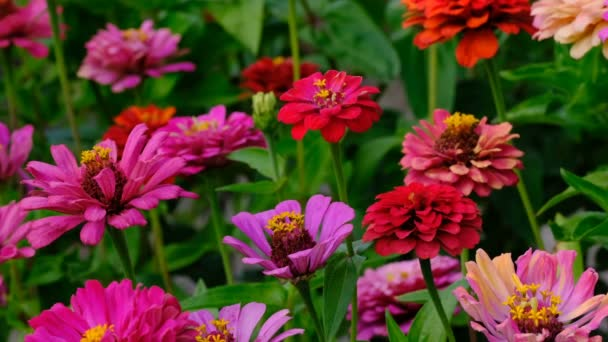 Zinnia flowers (majors) are blooming on a summer garden flowerbed video sketching close-up shot on a bright sunny day