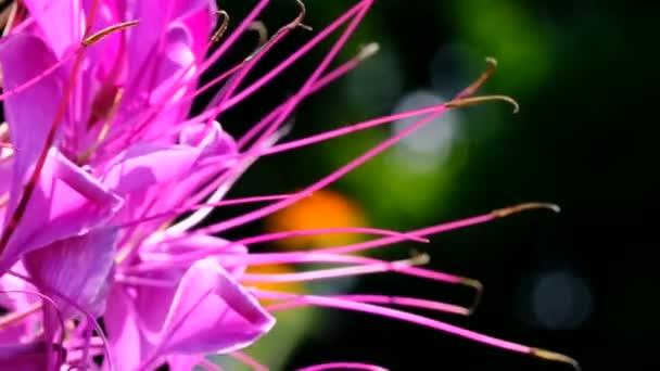 Gyönyörű rózsaszín nyári virág videó vázlatos közelről lövés egy ragyogó napsütéses napon elfogott segítségével zoom és a kamera mozgását