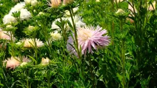 Krásný letní květinový nákres, kvetoucí zařízení v květinové posteli, střelili zblízka za jasného slunného dne ve vysokém rozlišení 4k