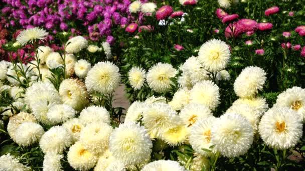 Gyönyörű nyári virág videó vázlat, virágzó Asters a virágágyás, lövés közelről egy ragyogó napsütéses napon, nagy felbontású 4k