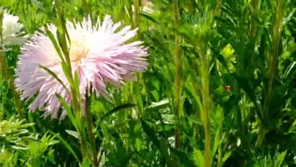 Krásný letní květinový nákres, kvetoucí zařízení v květinové posteli, natočené pomocí lupy a přemístění kamery