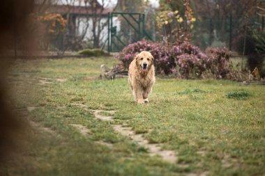 wet golden retriever dog