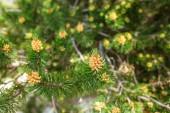 Mladé výhonky borovice brzy na jaře.