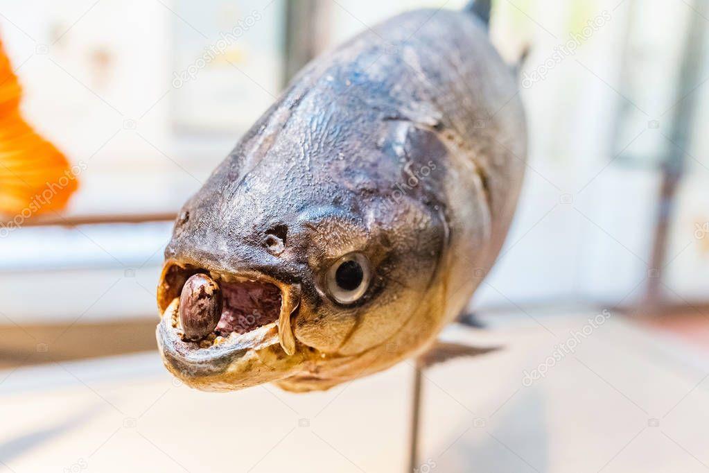 Amazon Piranha in museum