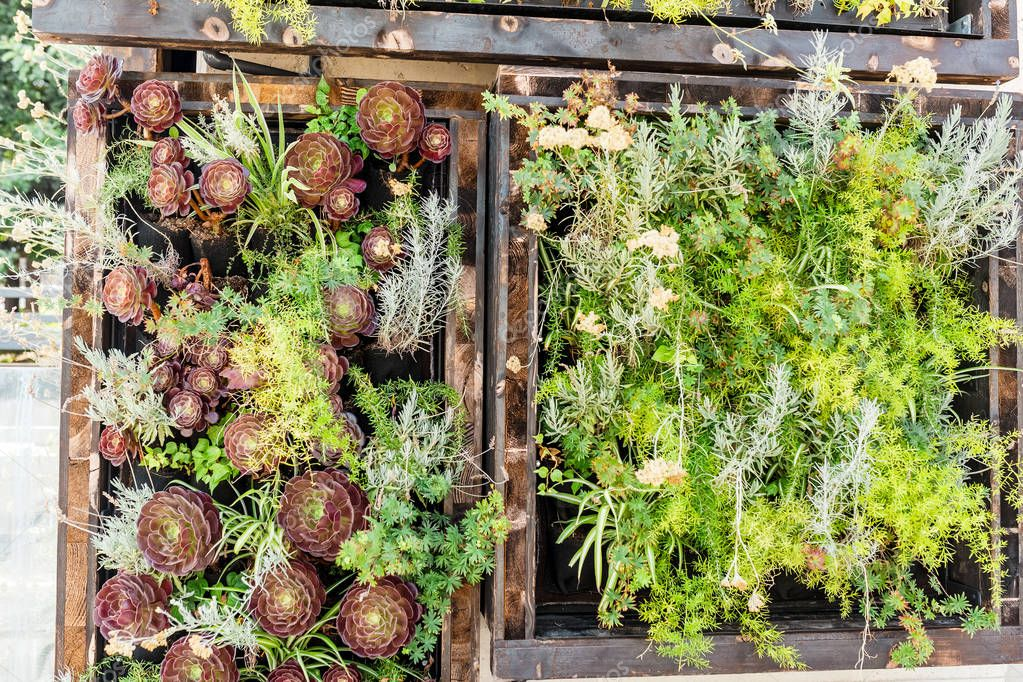 Green Aeonium plants and flowers on the wall, as vertical decorative garden