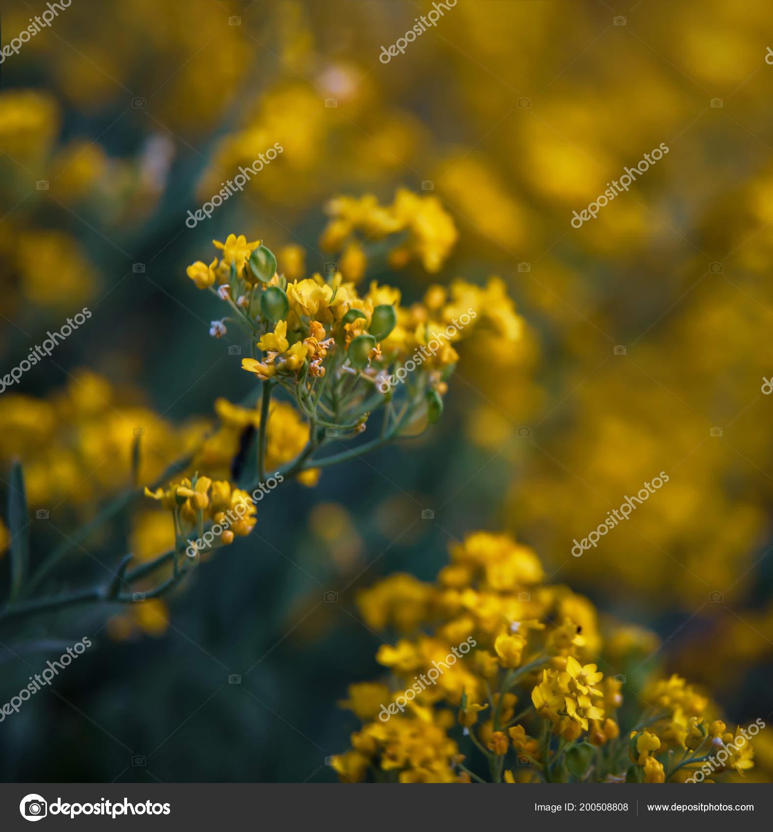 Soft Focus Image Small Yellow Flowers Aurinia Saxatilis Spring Time