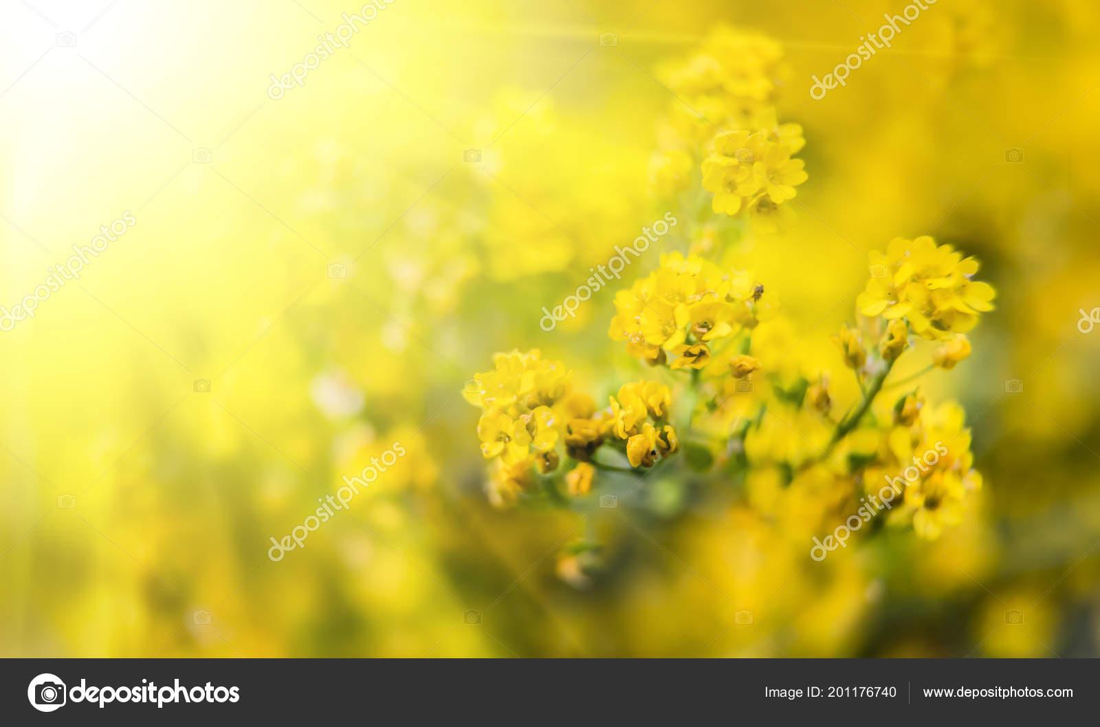 Soft Focus Image Small Yellow Flowers Aurinia Saxatilis Sun Light