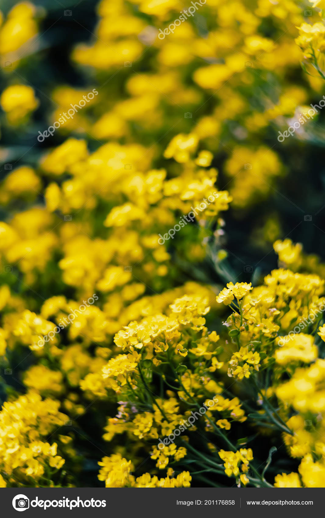 Soft focus image small yellow flowers aurinia saxatilis spring time soft focus image of small yellow flowers of aurinia saxatilis in the spring time in the garden common names include basket of gold goldentuft alyssum mightylinksfo