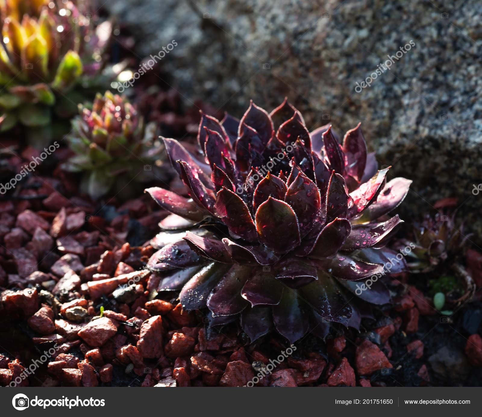 Succulent Growing Rocks Raindrops Leaves Decorative Place Garden