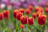 tulipánok a városban