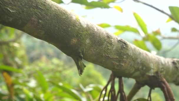 Nahaufnahmen von Jackfruit, die im tropischen Wald an einem Baum hängen