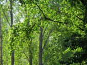 Fotografie spring forest with fresh green trees