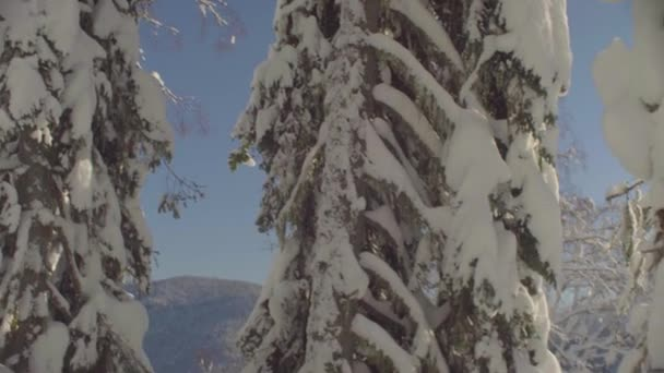 Winter fir tree in the Siberian mountains