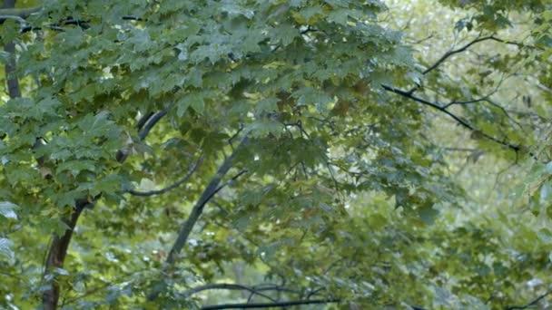 Raindrops on the maple tree leaves