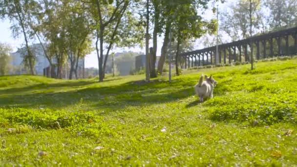 Corgi Hund beim Gassigehen auf dem Rasen